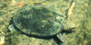 Photo by http://www.auburn.edu/academic/science_math/res_area/moved_herpetology/turtles/testudinidae.htm